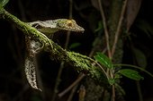 Mossy leaf-tailed Gecko on a branch - Ranomafana Madagascar ; These Geckos are active hunters at night but remain camouflaged during the day.