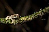 Reticulate Bright-eyed Frog - Ranomafana Madagascar