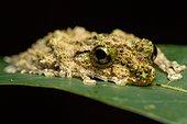 Madagascar Frog on leaf - Madagascar