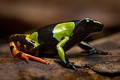 Harlequin Mantella - Ranomafana Madagascar ; Mantella frogs share striking similarities with neotropical Poison Dart Frogs. Although genetically unrelated, Mantella and some Poison Dart Frogs share many of the same features of which are considered to have been produced by convergent evolution.