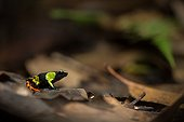 Harlequin Mantella undergrowth - Ranomafana Madagascar ; Mantella frogs share striking similarities with neotropical Poison Dart Frogs. Although genetically unrelated, Mantella and some Poison Dart Frogs share many of the same features of which are considered to have been produced by convergent evolution.