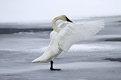 Trumpeter Swan stretching on ice - Grand Teton USA