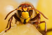 European hornet on a bunch of grapes - France