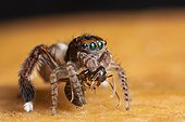 Jumping Spider male grabbing a Ant - France
