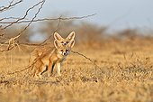Young White-footed Foxes - Little Rann of Kutch India ; near the burrow