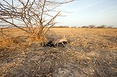 Young White-footed Fox - Little Rann of Kutch India ; leaving the burrow