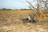 Young White-footed Fox - Little Rann of Kutch India ; at burrow