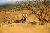 Young White-footed Fox - Little Rann of Kutch India ; near the burrow