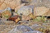 Painted Spurfowl on ground - Sandur Mountain India