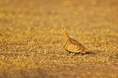 Black-bellied sandgrouse on ground - Sandur Mountain India
