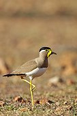 Yellow-wattled lapwing on ground - Sandur Mountain India