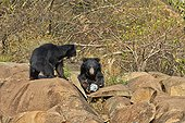 Sloth bears on rocks - Sandur Mountain India  ; remote control picture