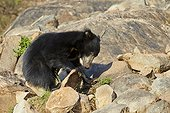Sloth bears on rocks - Sandur Mountain India
