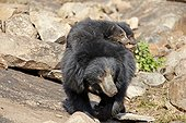 Sloth bear and cubs - Sandur Mountain India  ; mother carrying babies on the back