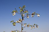 Cotton Plant - Little Rann of Kutch India