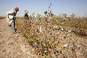 Cotton harvest - Little Rann of Kutch India
