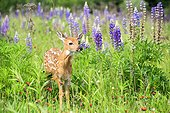 White-tailed deer fawn and Lupine flowers - Minnesota USA