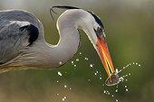 Héron cendré avec un poisson dans le bec - Hongrie