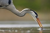 Grey Heron with a fish in its beak - Hungary