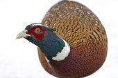 Ring-necked pheasant in snow in winter - France