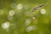 Escargot accroché à une tige de graminée - Lorraine France ; pelouse calcaire