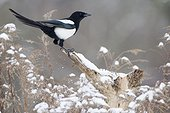 Black-billed Magpie on a branch in winter - France