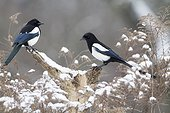Black-billed Magpies on a branch in winter - France