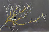 Great Tit on a branch in winter - France