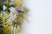 Olive Bee Hawk moth pollinating Honeysuckle - France