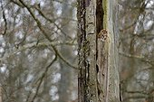 Tawny Owl in a trunk in winter - Luxembourg