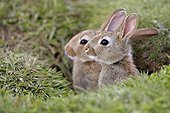 Young Rabbits in burrow - Lunga Inner Hebrides UK ; at the top of the cliff