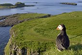 Atlantic Puffin at the top of the clif- Lunga Inner Hebrides ; at the top of the cliff