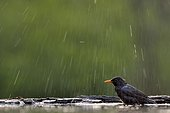 Male blackbird bath - Hungary