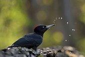 Black Woodpecker female drinking trough - Hungary