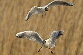 Black-headed gulls in flight over a pond - Hungary