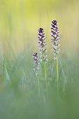 Orchis brûlé en fleurs au printemps - Alsace France