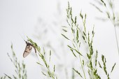 Mayfly on spikelets - France