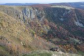 Alpine Chamois in autumn - Hohneck Vosges France