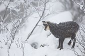 Alpine Chamois in snow in winter - Vosges France