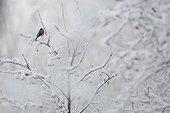 Bullfinch on a branch in winter - Vosges France