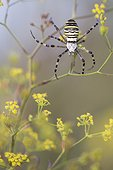 Wasp Spider suspended in flowers - Alsace France  ; Limestone hills