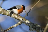 Bullfinch male on a branch in winter - Vosges France