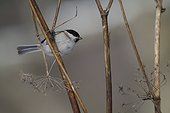 Marsh Tit on a rod in winter - Vosges France