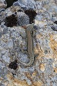 Common Wall Lizard on rock - Alsace France