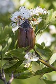 Common cockchafer on flowers in spring - Kaiserstuhl Germany