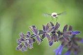 Bombyle on flower Sage - Alsace France