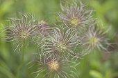 Pasque flowers - Alsace France
