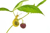 White-lip Gardensnail on raspberry fruit on white background
