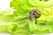 Large gray snail on a lettuce leaf - France
