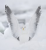 Slaty-backed gull on ice in winter - Japan